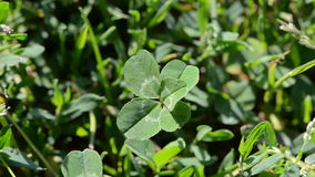 Lycklig växt av släktet Trifolium för fem blad i vind
