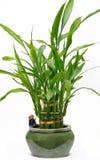 lycklig växt för bambuhus Royaltyfri Foto
