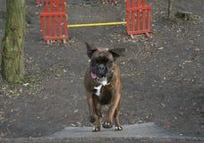 Lycklig vighethund royaltyfria bilder