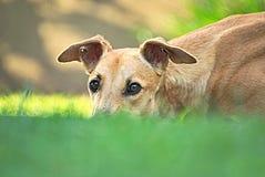 Lycklig vinthund som är utomhus- i gräset fotografering för bildbyråer