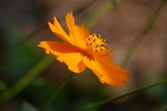 Lycklig vippad på orange lös blomma royaltyfri fotografi