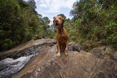 Lycklig vizslahund utomhus Fotografering för Bildbyråer