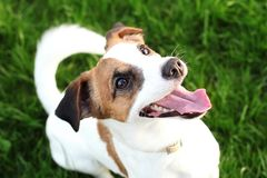 Lyckliga aktiva unga Jack Russell Terrier närbilden för framsida och för ögon för Vit-brunt färghund i parkerar utomhus och att g royaltyfri bild
