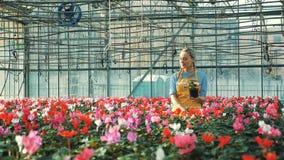Lyckliga blommor för trädgårdsmästarevattencyklamen som växer i en burk stock video