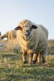 Lyckliga får som betar i fältet som vänder mot kameran Arkivfoto