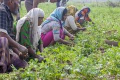 Lyckliga familjplockningpotatisar i deras fält i Thakurgong, Bangladesh arkivbild