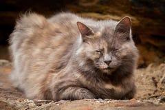Lyckliga grå färger och Ginger Long-Haired Tortoiseshell Cat Sitting på a Royaltyfri Foto