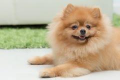 Lyckliga gulliga husdjur för Pomeranian hund fotografering för bildbyråer