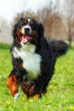 Lyckliga härliga körningar för hund för det Bernese berget är roliga Arkivfoto