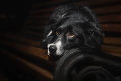 Lyckliga hundgränscollier Royaltyfri Bild