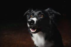 Lyckliga hundgränscollier Royaltyfri Fotografi