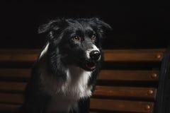Lyckliga hundgränscollier Arkivbild