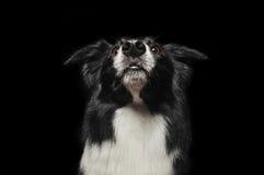 Lyckliga hundgränscollier visar hans tunga Arkivbilder