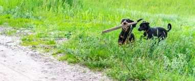 2 lyckliga hundkappl?pninglekar med pinnen p? bygden, placeholder royaltyfri bild