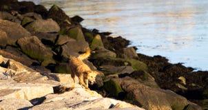 Lyckliga körningar för tillfällig hund längs Rocky Shore royaltyfri fotografi