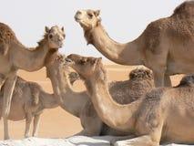 lyckliga kamel Royaltyfri Bild