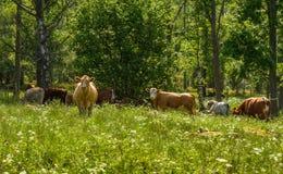 Lyckliga kor på grön sommar betar i Sverige Arkivfoton