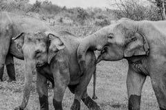 Lyckliga lösa elefanter kopplar ihop förälskat Fotografering för Bildbyråer