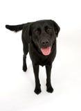 lyckliga labrador arkivbild