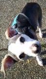 Lyckliga le Chester Buddy med den manliga hunden för huvudlutande, för chihuahua- och whippetblandning royaltyfria foton