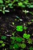 lyckliga leaves för växt av släkten Trifolium fyra Arkivbilder