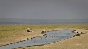 Lyckliga noshörningar i Naivasha arkivbilder