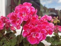 Lyckliga rosa färgträdgårdblommor Royaltyfria Foton