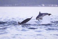 Lyckliga skämtsamma lösa bottlenosedelfin royaltyfri foto