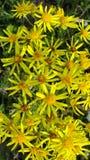 lyckliga sm? gula blommor i varma sommar?ngar royaltyfria bilder