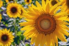 Lyckliga solrosor i fältet som pollineras av bin arkivbild