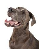 Lyckliga stora Dane Dog Closeup Arkivfoton