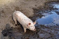 Lyckliga svin, ungt svin, spädgrisanseende i en pöl av vatten, i en sumpmark som ses från över royaltyfria bilder