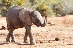 Lyckliga tankar - afrikanBush elefant Royaltyfri Fotografi