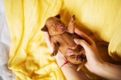 Lyckliga Vizsla är unga valplögner för en hund på den gula handduken och husdjur av ägaren royaltyfria bilder