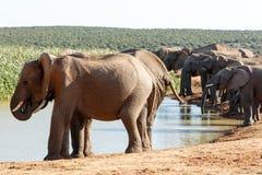 Lyckligt - afrikanBush elefant Arkivbild