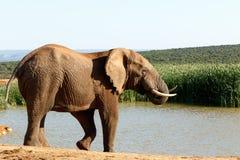 Lyckligt att vara - afrikanBush elefant Royaltyfri Foto