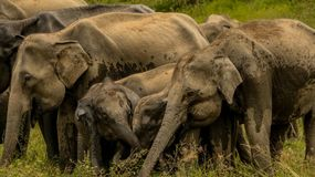 Lyckligt behandla som ett barn elefanter med familjen Royaltyfria Bilder
