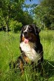 lyckligt berg för bernese hund Royaltyfri Foto