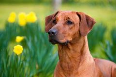 Lyckligt gulligt rhodesian fält för ridgebackhund på våren arkivfoton