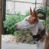 Lyckligt hemmastatt för Ibizan hund Royaltyfria Foton