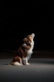 Lyckligt hundborder collie sammanträde i profilen, studio Royaltyfri Foto