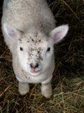 Lyckligt lamm Arkivbild