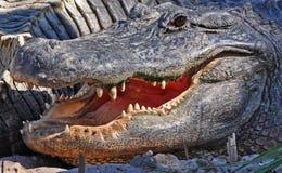 lyckligt le för alligator Arkivfoton