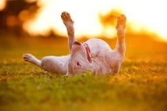 Lyckligt ligga för engelskabull terrier hund som är uppochnervänt royaltyfri foto