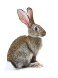lyckligt nytt kaninår Arkivbild
