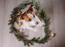 Lyckligt nytt år jul, Jack Russell Terrier ferier och beröm, husdjur i rummet Fotografering för Bildbyråer