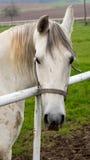 Lyckligt posera för vit häst Arkivfoto
