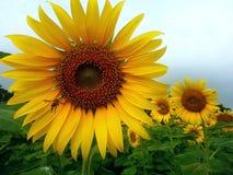 Lyckligt solrosblommaland arkivfoton