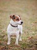 StålarRussell Terrier Royaltyfri Fotografi