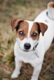 StålarRussell Terrier Arkivbilder